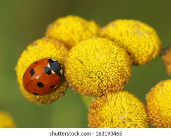 Seven-spot ladybird, ladybug or lady beetle (Coccinella septempunctata) on the yellow flower of tansy in Finland.