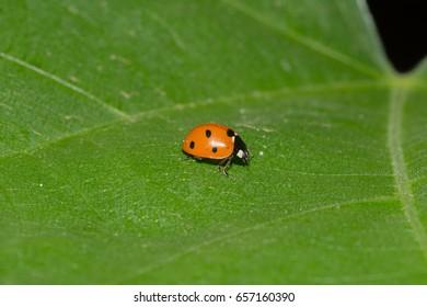 Seven-spot ladybird on a leaf, Coccinella septempunctata