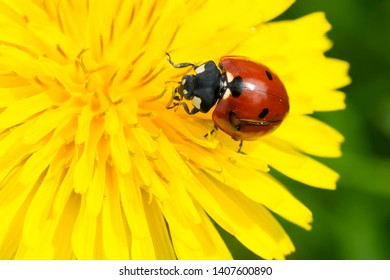 Seven-spotted Lady Beetle resting on a yellow dandelion flower. Ashbridges Bay Park, Toronto, Ontario, Canada.
