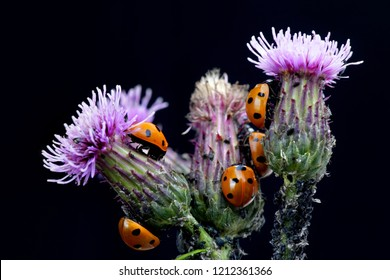 Seven-spotted ladybirds,  Coccinella septempunctata. hunting for aphids on  creeping thistle.