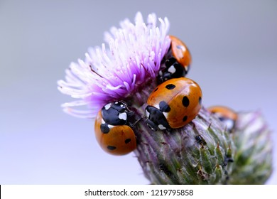 Seven-spotted ladybirds, Coccinella septempunctata, hunting for aphids on creeping thistle