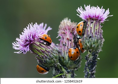 Seven-spotted ladybirds,  Coccinella septempunctata, hunting for aphids on  creeping thistle.