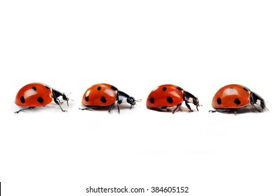 Seven-spotted ladybug isolated on  white. close up