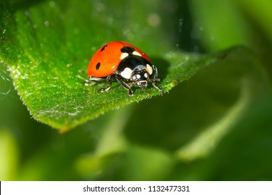 Seven-spotted Ladybug resting on a leaf. Also known as the Seven Spot Ladybird Beetle. Ashbridges Bay Park, Toronto, Ontario, Canada.