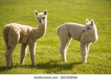Several alpacas on a farm on San Juan Island in Washington state The alpaca is a species of South American camelid. It is similar to, and often confused with, the llama
