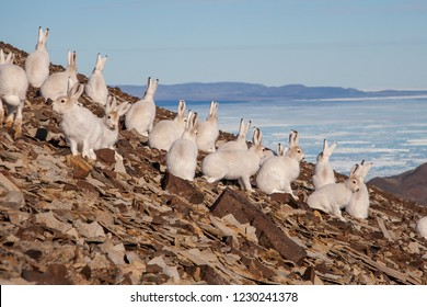 Several arctic hares sitting on a hillside.