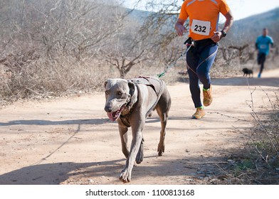 Several athletes and their dogs taking part in a popular canicross race