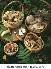 Plusieurs paniers de champignons comestibles fraîchement cueillis - bolete blanc, champignons parasol, champignons bouleaux sur le sol de la forêt