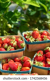 several baskets of organic strawberries