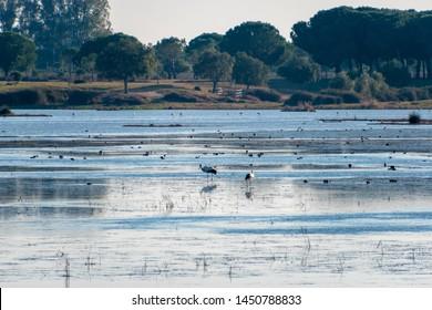 Several birds including storks and ducks wading through the wetlands of El Rocio, Spain and part of Parque National de Donana