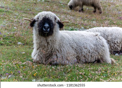 Several black nose sheep grazing and sitting on the grass near the Matterhorn close up