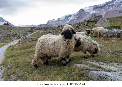 Several black nose sheep grazing near the Matterhorn with the alpine hut Fluhalp in the background