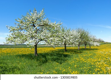 Several blooming apple trees diagonally in a row on a flower meadow in spring
