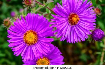 several blooming asters in intense violet,