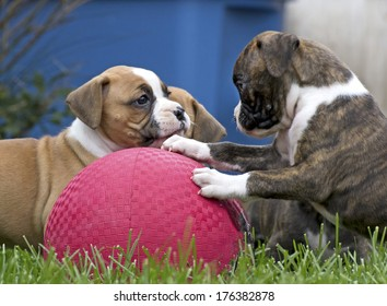 Several Boxer puppies playing with a big red rubber ball in green grass