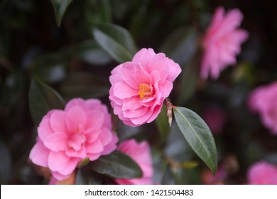 Several bright pink camelia flowers on a bush selective focus