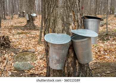 several buckets used to collect sap of maple trees to produce maple syrup in Quebec.