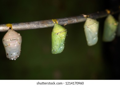 Several butterfly pupas on the brunch, macro