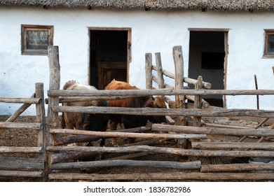 Several cattle in cossack's farmyard on Don, Russia