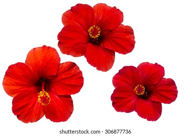 several colors red hibiscus isolated on white background