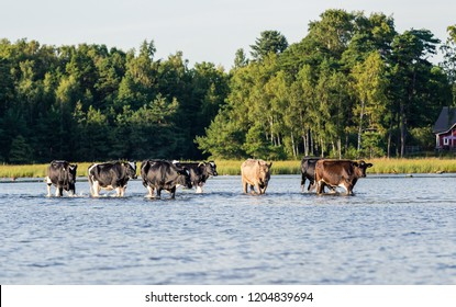several cows wading in water