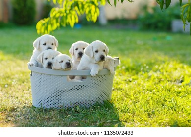 several cream-colored Golden Retriever puppies want to escape from the basket to play