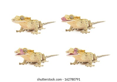 Several Crested geckos on white background.