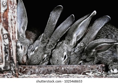 Several Cute, funny, gray, furry, Domesticated rabbits in the village in a cage eat their food