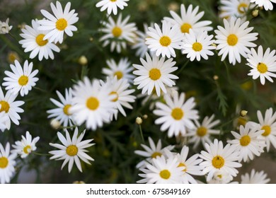 Several daisies in a field. Horizontal composition.