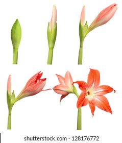 Several Days of Flower Life. Stages of growth - amaryllis isolated on white background.