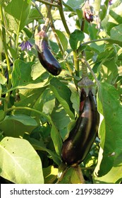 several different size violet eggplants and flower on the bush