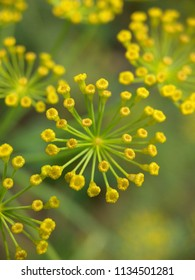 Several dill flowers shot with macro lens in shiny day in the village