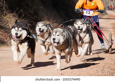 Several dogs and their musher taking part in a popular canicross with a diggler mountain scooter