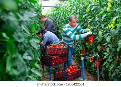 Several farmers harvest red tomatoes and put in boxes