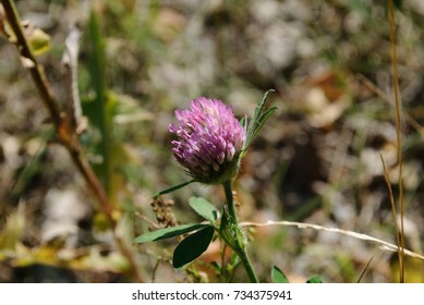 Several flowers of purple clover on a background of greenery.