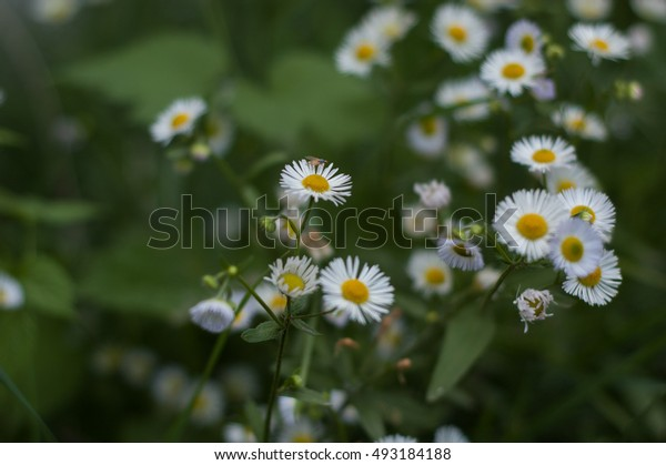 Several flowers similar to daisy on a green background.