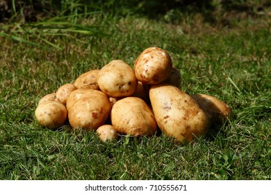 Several fresh tuber of potato on green grass.