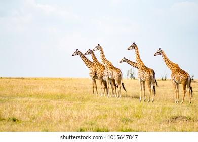 Several Giraffes near Acacias in Masai Mara Park Kenya