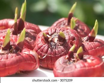 Several gladiolus flower bulbs laying in a bright spring sun with a focus on one of them