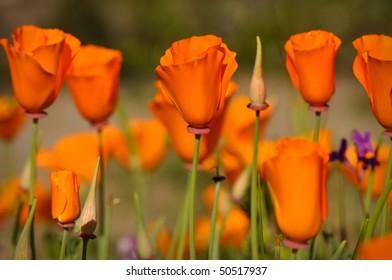 Several Golden Orange California State Poppies