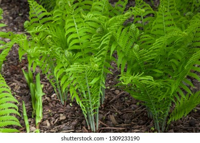 Several groups of vibrant green ferns in the process of unfurling their fiddleheads in spring.