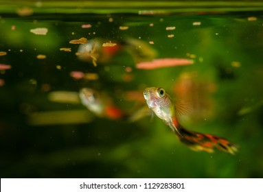 Several of guppy in aquarium. Selective focus with shallow depth of field.