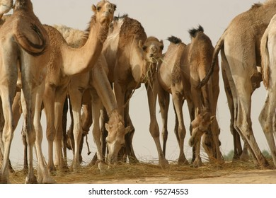 Several hobbled camels gather to drink at an oasis in the Sahara Desert of Mali