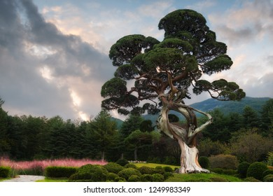 A several hundred year old juniper tree stands in the center of a carefully manicured garden in South Korea.