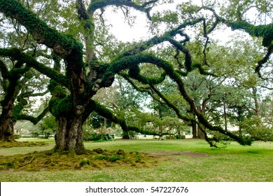 several hundred-year-old southern live oak trees, Quercus virginiana, dot the grounds of a plantation located along the River Road bordering the Mississippi River in Louisiana.