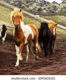 Several Icelandic horses run on a slope in the highlands, an animal with brown-white fur is defining the image, a local motif - Location: Iceland