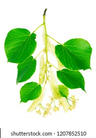 Several inflorescence with flowers and buds, leaves of the linden on the branch closeup on a white background. Save work path.