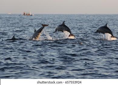 Several jumping dolphins at Lovina Beach, Bali, Indonesia