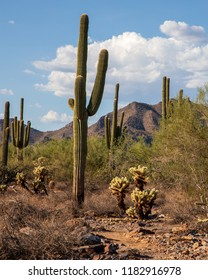Several large and old sonoran cacti in the desert in the south western United States.