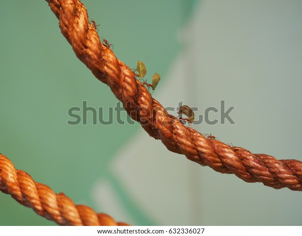 Several Leafcutter ants moving over a rope.